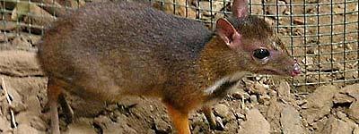 Cría de ciervo-ratón