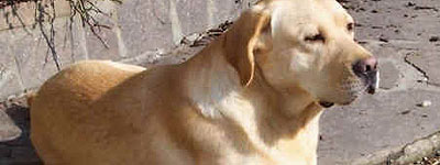 Labrador adivino