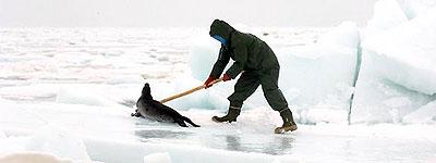 Matanza de focas